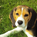 beagle-puppy-contemplating-in-grass