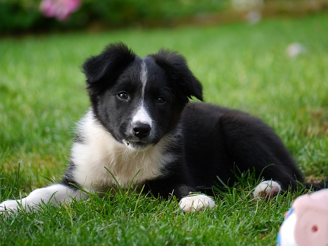 border-collie-1167898_640