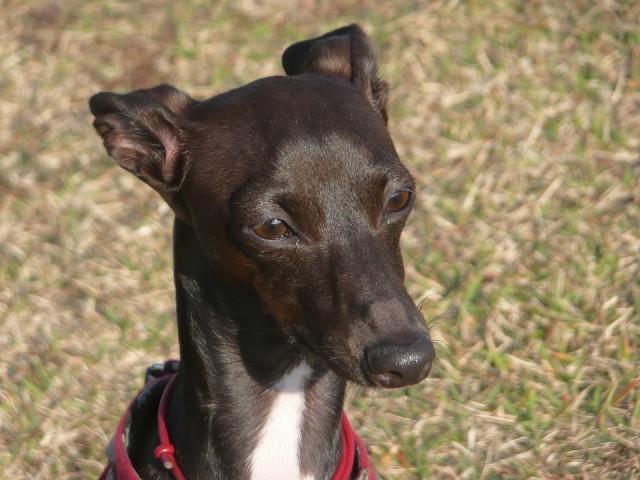italian-greyhound01