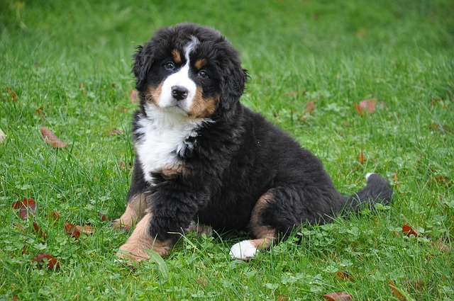 bernese-mountain-dog-1177072_640