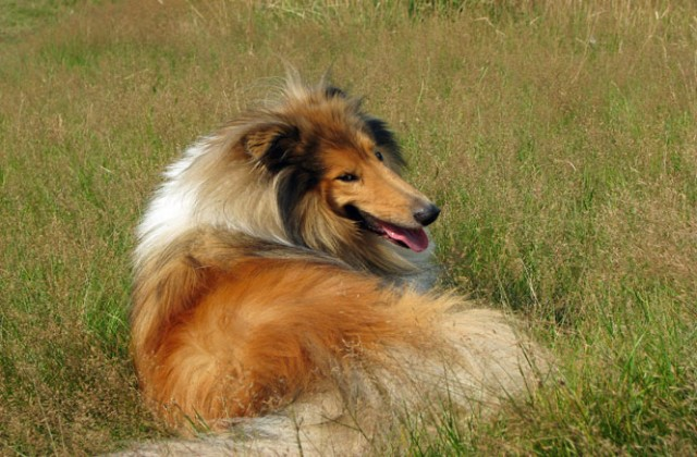 medium_perro-collie-rough-por-karen-arnold