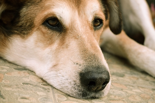 dog-animal-pet-sad-160835