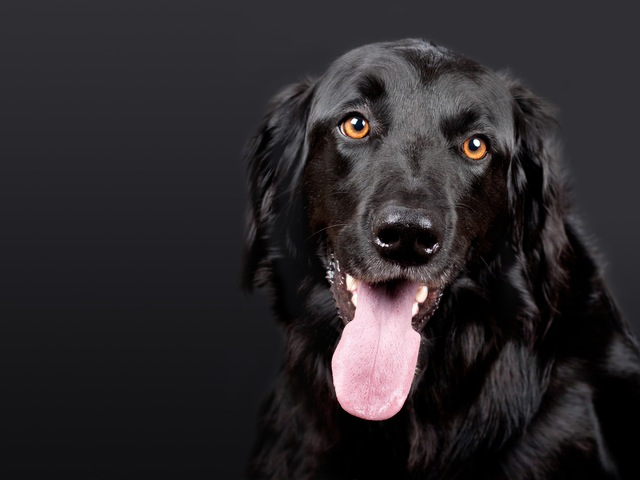 dog-hovawart-black-pet-89775