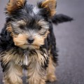 dog-puppy-yorkshire-terrier-yorkshire-terrier-puppy-163685