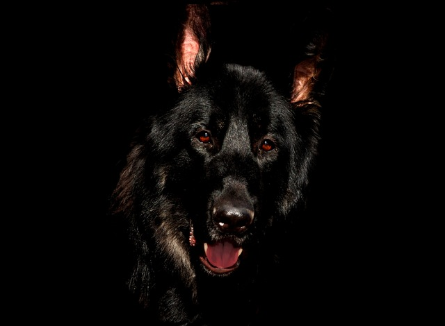 alsatian-black-eyes-german-shepherd-56034