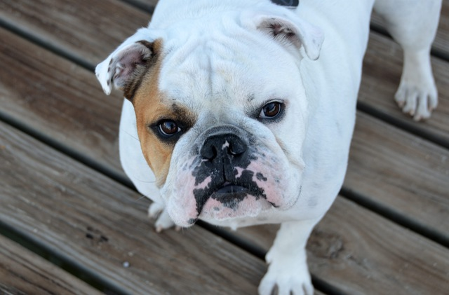 bulldog-dog-pet-breed-160748