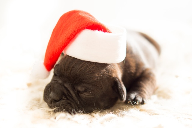 dog-christmas-xmas-bulldog