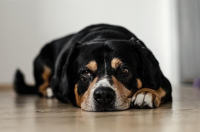 dog-lying-2517x1667_18855